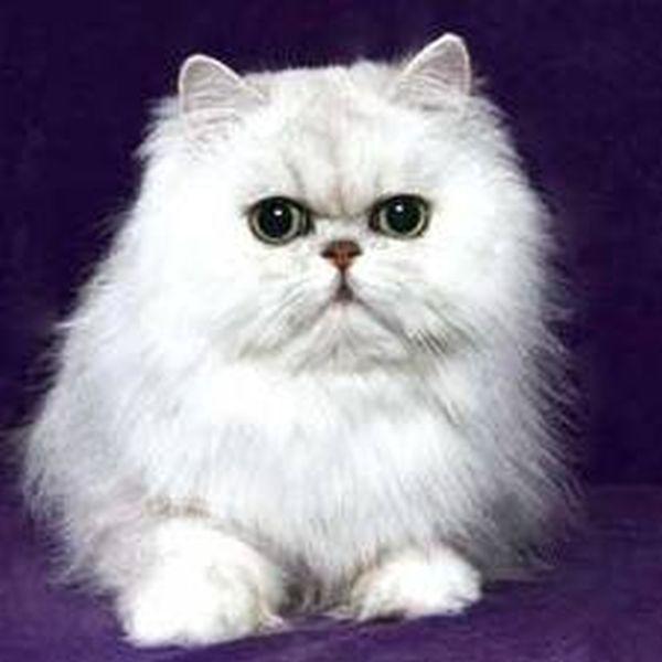 Mèo Ba Tư ( Persia Cat )
