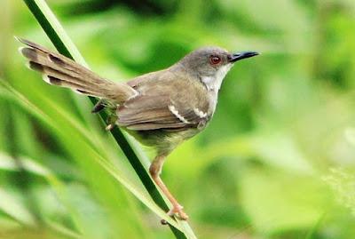 Harga Terbaru Semua Jenis Burung Ciblek Saat Ini 2017 Paling Lengkap