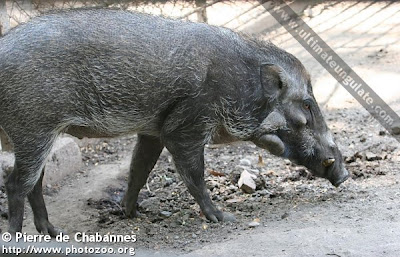 Javan warty Pig