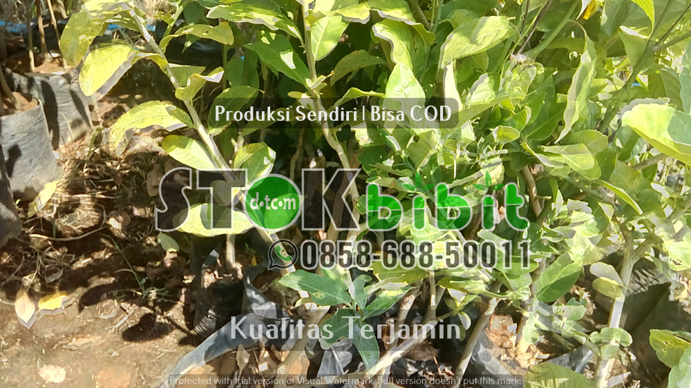Jenis-jenis Buah Durian      Berkwalitas     Unggul