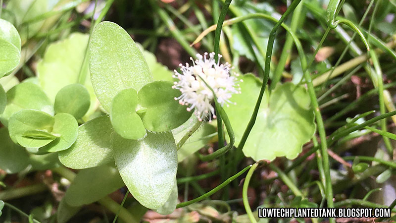 Hydrocotyle flower