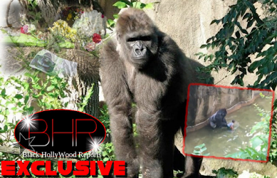 """17 Year Old Gorilla """"Harambe"""" Dies After A 4 year Old Jumps into A Gorilla Pen"""