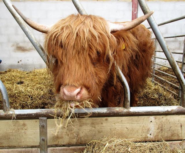 karvainen lehmä, sandy feet farm