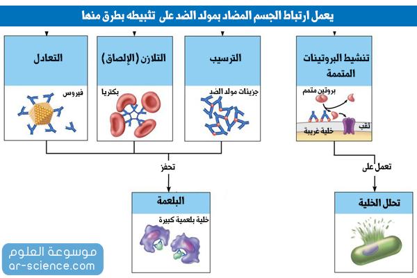 آلية عمل الأجسام المضادة ، طريقة عمل الاجسام المضادة كيفية
