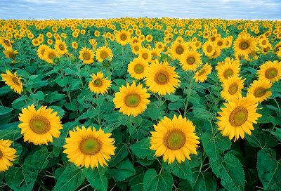 Sunflower State Flower of Kansas Clip Art