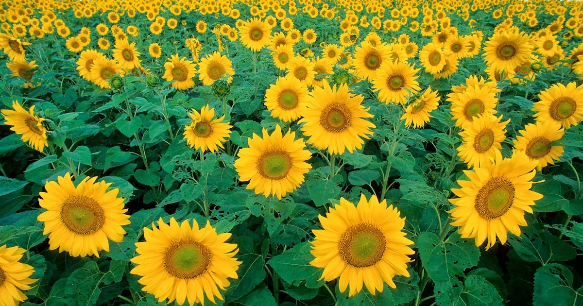 Sunflower State Flower of Kansas Clip Art Public Domain ...