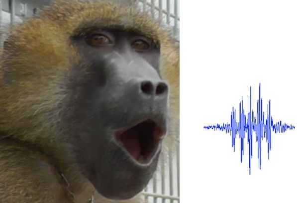 Baboons produce vocalizations comparable to vowels
