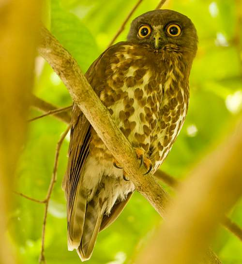 Birds of India - Photo of Brown hawk-owl - Ninox scutulata