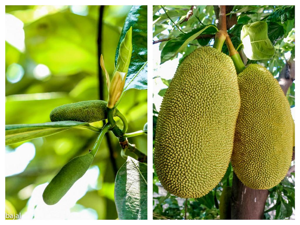 Jackfruit | Artocarpus heterophyllus