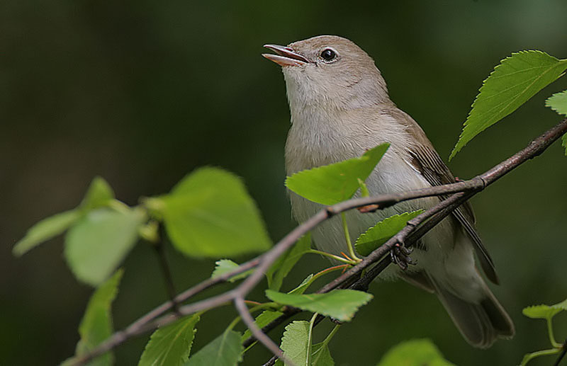 Birdwatch: garden warblers are losing their scrub habitat
