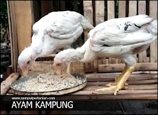 Membuat Pakan Alternatif untuk Ayam Kampung