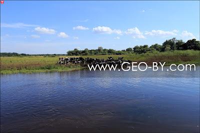 Река Нёман у Могильно. Стадо коров