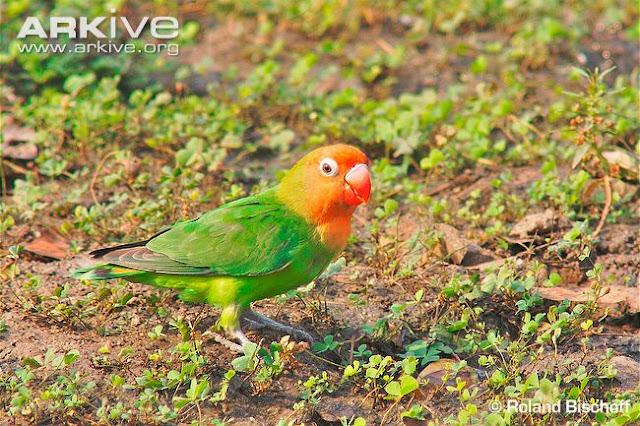 Lovebird Nyasa (Agapornis Lilianae)