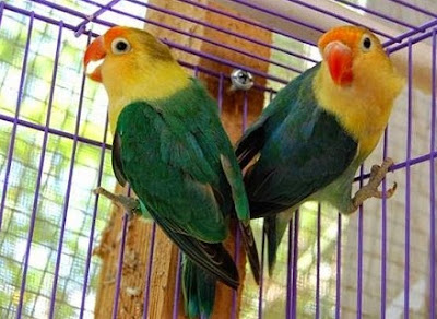Tips Dan Cara Perawatan Burung Lovebird Dewasa Bagi Pemula