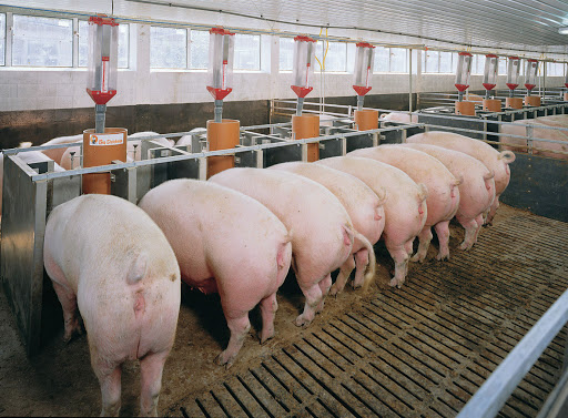 chăn nuôi heo sạch biogasviet