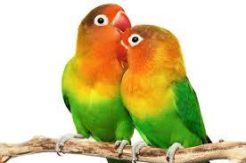 Tips Untuk Rutinitas Merawat Burung LoveBird Agar Sehat Dan Gacor