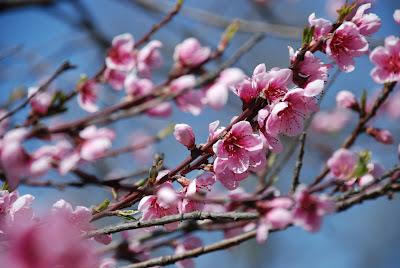 3848209a34b9 Lina D  I fiori di pesco…li trovo bellissimi e romantici.