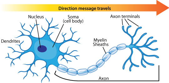 neuron anatomy azheimer beta amyloid