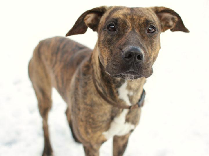 Pound Dogs Bibi Boxer Cane Corso Mix