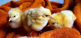 Kenapa Ya Tahi Ayam Itu Populer Dan Paling Bau?