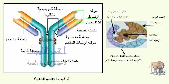 تركيب الجهاز المناعى فى الإنسان - الأجسام المضادة - تركيبها - السلاسل الثقيلة - السلاسل الخفيفة - منطقة متغيرة - منطقة ثابتة