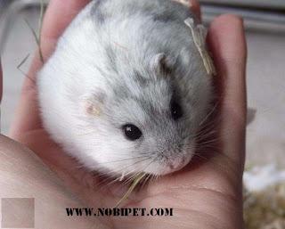 cach-phan-biet-chuot-hamster-winter-white-ww-va-campell-chuyen-nghiep-10