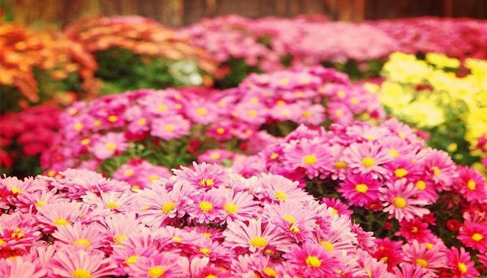 Crisantemos de jardin