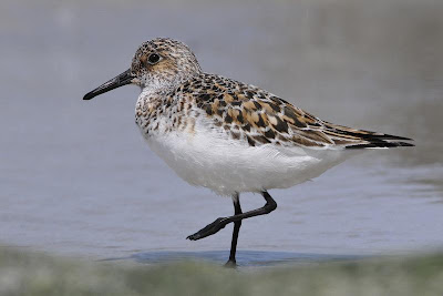 Playerito blanco Calidris alba