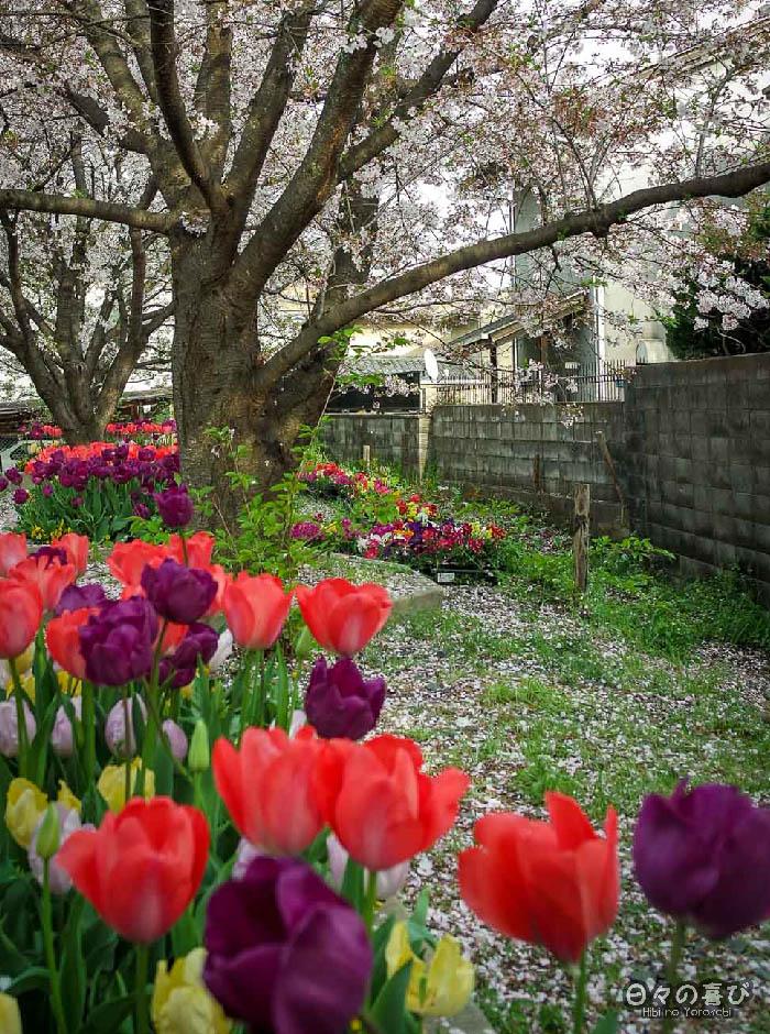 tulipes multicolores et sakura, gare Ryoanji, Kyoto