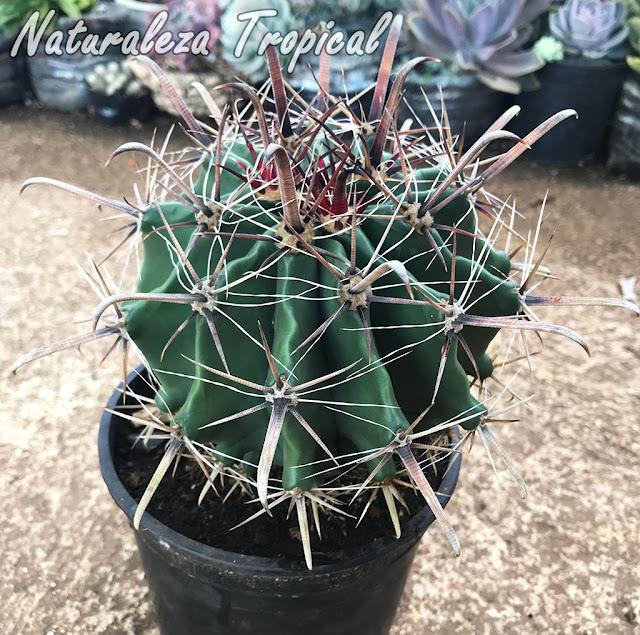 Vista del cactus Ferocactus herrerae