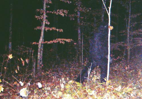 imaGitopia: Foto dan Video Penampakan Bigfoot