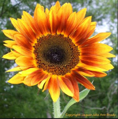 Autumn Beauty Sunflower - Copyright JaguarJulie Ann Brady