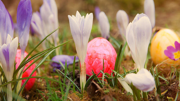 Wallpaper: Easter Holiday Eggs. Crocuses. Spring