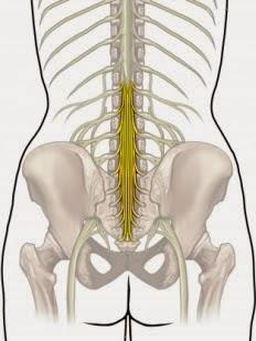 erecție și coloană vertebrală ulei esențial pentru penis