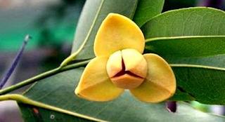 Bunga Nasional Kamboja