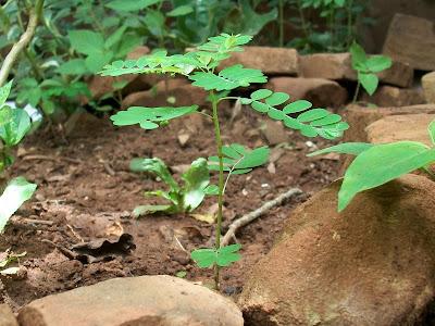 Phyllanthus niruri (flor escondida, quiebra piedras, huevo abajo)