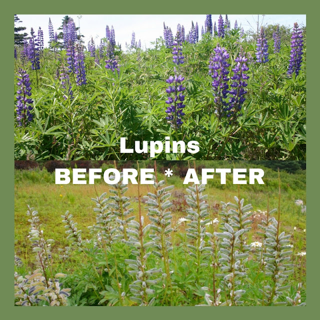 Lupins Before & After