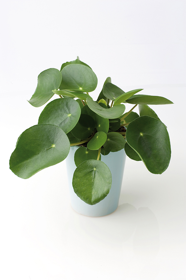 a singular succulent plant pilea peperomioides. Black Bedroom Furniture Sets. Home Design Ideas