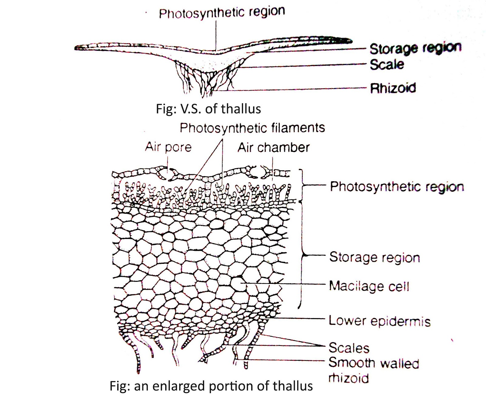 All Biology Classes Marchantia Internal Structure Or