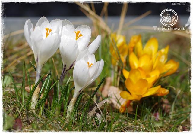 Gartenblog Topfgartenwelt Topfgarten + DIY mit Knagglig (Kiste) und Töpfen viel Platz auf kleinem Raum schaffen - Blumendeko mit Hornveilchen und Bellis passend für den Frühling und Ostern: Krokusse in weiß und gelb