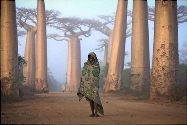 طفلة تسير وسط أشجار الباوباب في غابات مدغشقر !