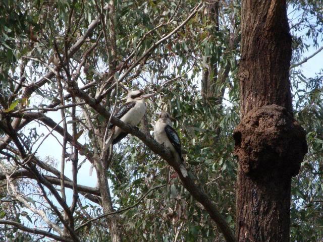 Kookaburra bird couple near their nest.