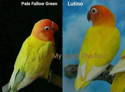 Perbedaan Lovebird Pale Fallow dan Lutino Mata Merah