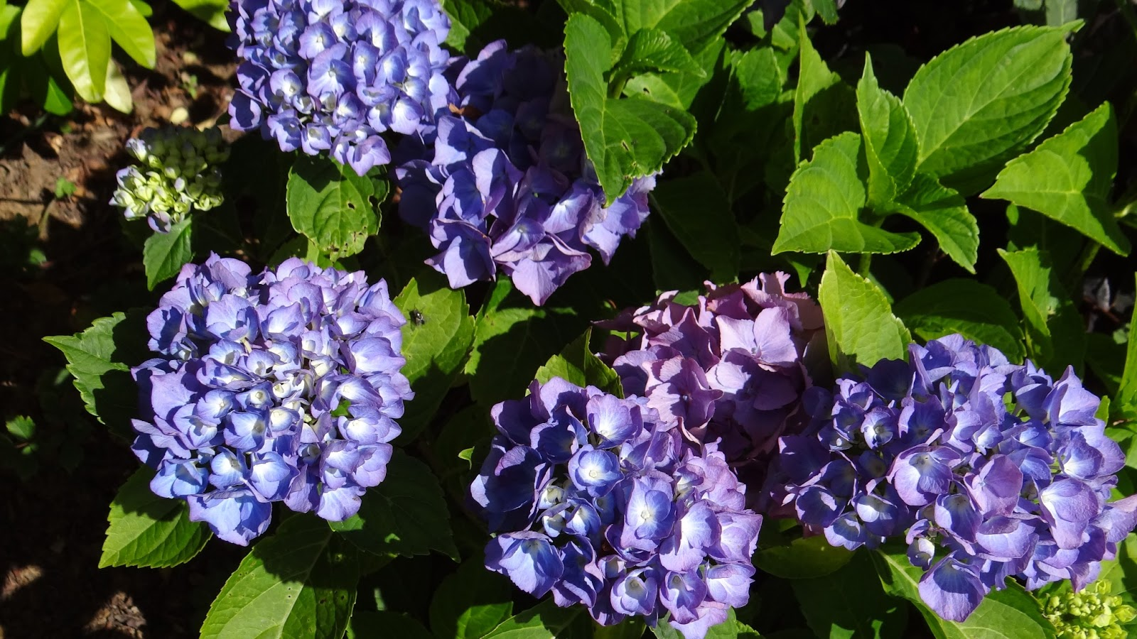 Ma terre de bruy re avant les vacances - Terre pour hortensia bleu ...