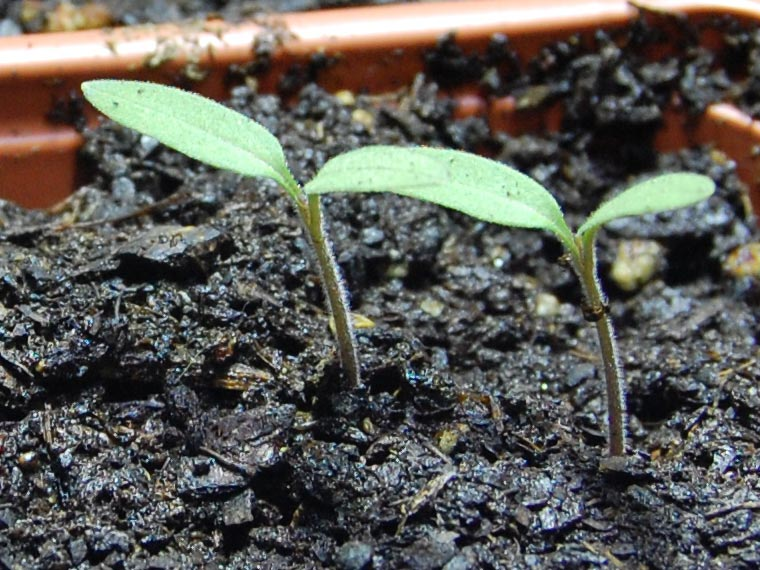 How To Grow Greenhouse Tomato Plants From Seed The Garden