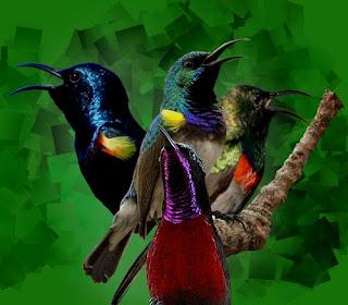 Kumpulan suara burung madu (kolibri) gacor