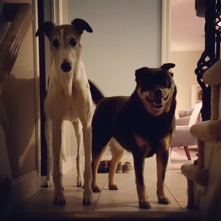 image of Dudley the Greyhound and Zelda the Black and Tan Mutt standing at the top of the stairs, looking down at me with happy faces