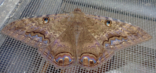 Black witch moth on a screen