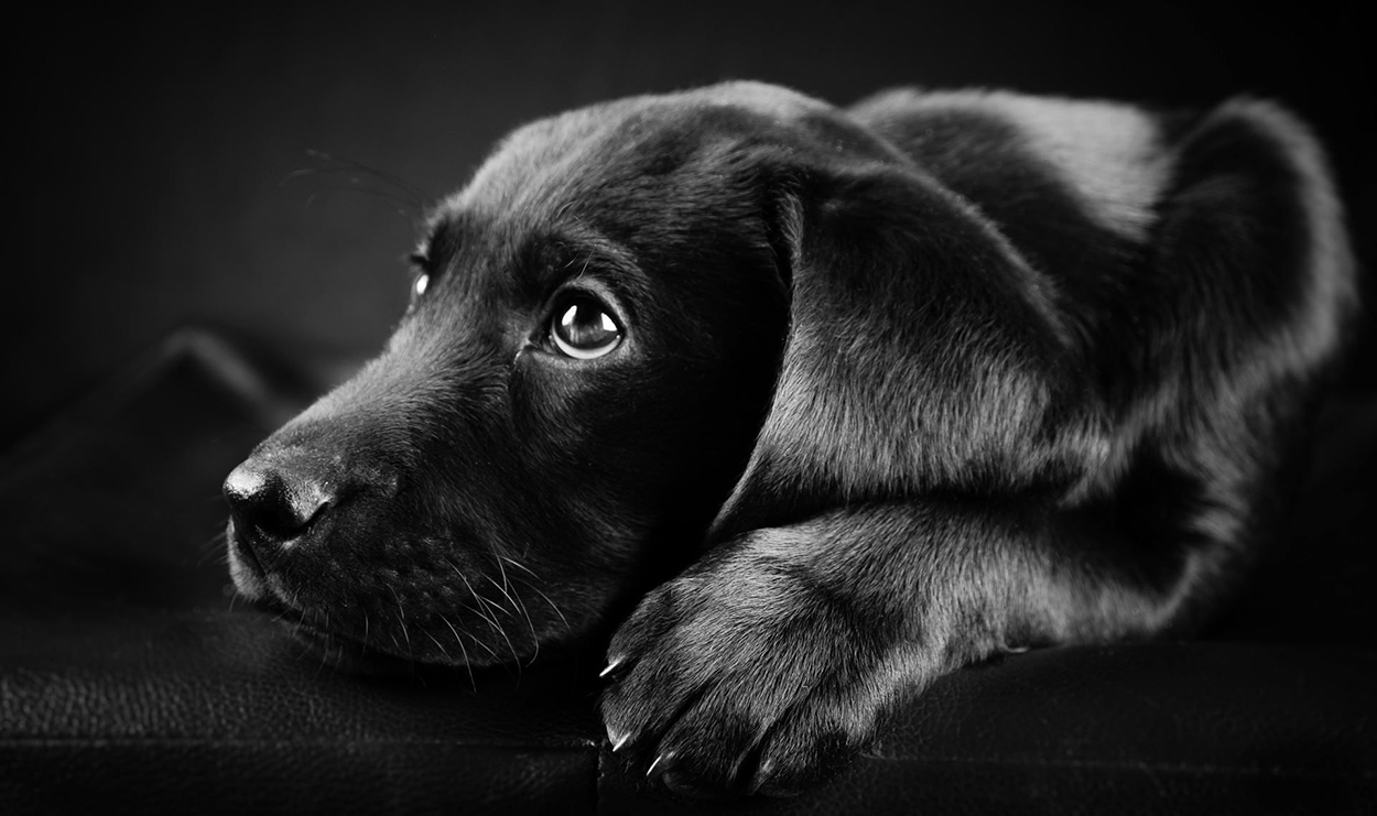 Sad black Labrador puppy with head on the ground and looking up