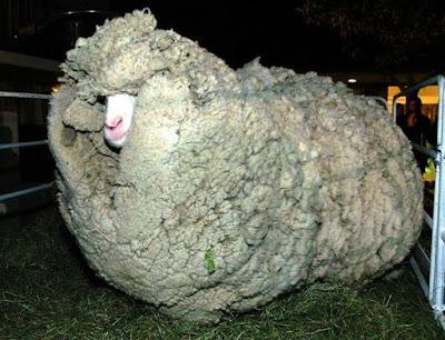 Sabías que…La lana de una oveja no para de crecer